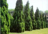 造型景观树