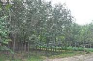 苗木基地-柿子树