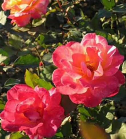盆花月季,精品月季,绿化苗木