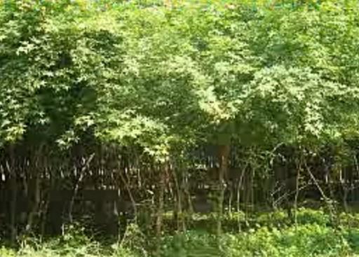 金银木、丁香、水腊、天目琼花,丛生木槿,金叶莸