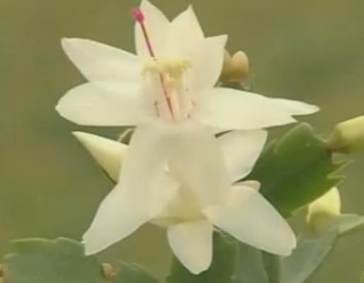 蟹爪兰的盆栽技术